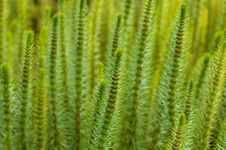 Free Needle Plant Stock Photography - 5373242