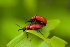 Free Lily Leaf Beetle Royalty Free Stock Photography - 5373247