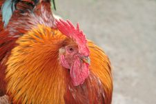 Free Combative Red Rooster Stock Images - 5373374
