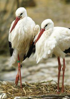 Free White Stork (Ciconia Ciconia) Royalty Free Stock Photos - 5374118