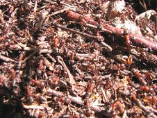 Free Ant-hill Royalty Free Stock Photography - 5374697