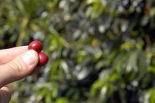 Free Coffee-tree Bean, Guatemala 20 Stock Image - 5374731