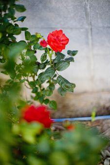 Free Blurred Rose Royalty Free Stock Image - 5374926