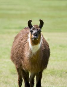Free Llama Stock Images - 5374944