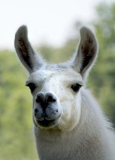White Llama Royalty Free Stock Image