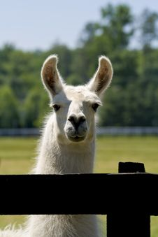 Free White Llama Stock Photography - 5374972