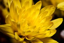 Free Golden Daisy Stock Images - 5375034
