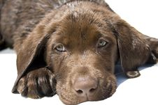 Free Chocolate Lab Puppy Stock Image - 5375161
