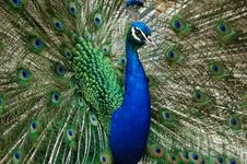 Free Peacock Stock Photo - 5375260