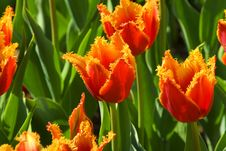 Free Red Tulips Royalty Free Stock Photos - 5375838