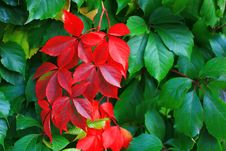 Red And Green Leaves Royalty Free Stock Images