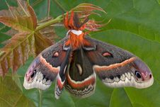 Cecropia Moth In Front Of Maple Leaf Stock Image