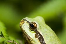 Free Tree Frog Royalty Free Stock Photos - 5375908
