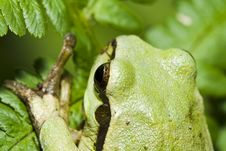 Free Tree Frog Royalty Free Stock Images - 5375909