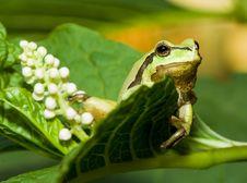 Free Tree Frog Stock Photography - 5375912