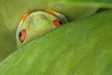 Free Red-eyed Tree Frog Hiding Royalty Free Stock Photography - 5376237