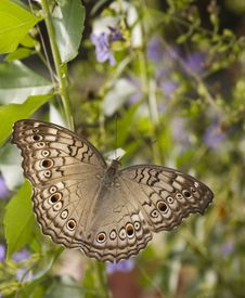 Grey Pansy Butterfly Stock Images