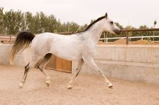 Free Arab Horse Stock Photo - 5377370