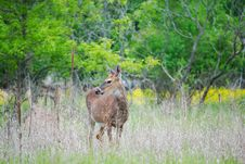 Free Young Deer Royalty Free Stock Image - 5377546