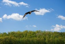 Free Soaring Bald Eagle Royalty Free Stock Photos - 5377588