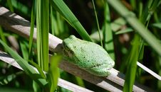 Free Tree Frog Stock Images - 5377644