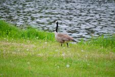 Free Canadian Geese Royalty Free Stock Image - 5377646