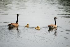 Free Canadian Geese Stock Photos - 5377733