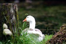 Free Goose Stock Photos - 5378303