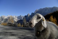Free Sheep In Julian Alps Stock Photography - 5379542