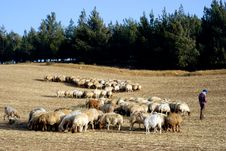 Free Sheep Stock Photo - 5379590