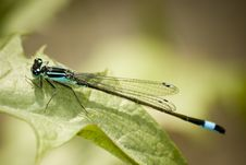 Free Blue Dragonfly Stock Photo - 5379650