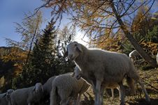 Free Sheep In Julian Alps Royalty Free Stock Images - 5379689