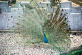 Free Peacock Flaunting Its Tail Royalty Free Stock Photos - 53716668