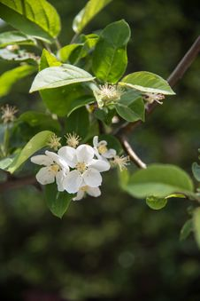 Free Pear Blossoms Stock Photos - 53716803