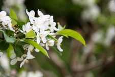 Free Pear Blossoms Royalty Free Stock Photography - 53716827