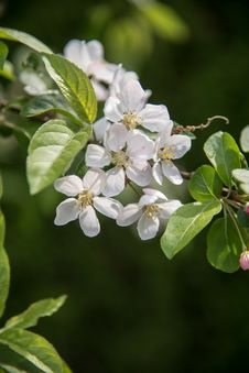 Free Pear Blossoms Royalty Free Stock Photos - 53716858