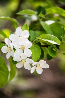 Free Pear Blossoms Stock Photos - 53716893