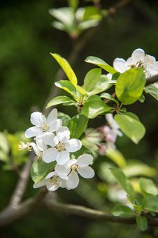 Free Pear Blossoms Stock Images - 53717054