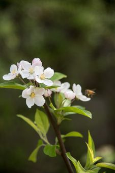 Free Pear Blossoms Royalty Free Stock Photography - 53717087