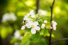 Free Pear Blossoms Royalty Free Stock Photography - 53717267
