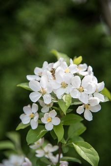 Free Pear Blossoms Stock Images - 53717274