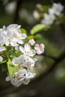 Free Pear Blossoms Stock Image - 53717311