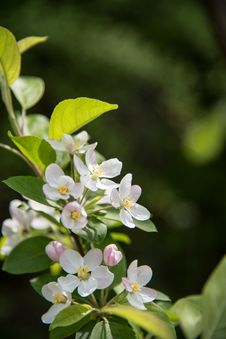Free Pear Blossoms Stock Photography - 53717362