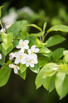 Free Pear Blossoms Royalty Free Stock Photo - 53717375