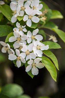 Free Pear Blossoms Royalty Free Stock Image - 53717406
