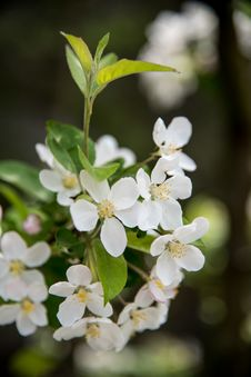 Free Pear Blossoms Stock Image - 53717451