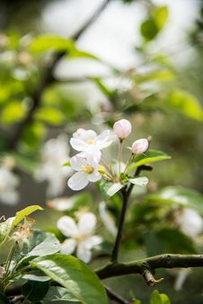 Free Pear Blossoms Stock Photography - 53717502