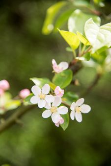 Free Pear Blossoms Stock Images - 53717504