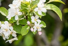 Free Pear Blossoms Royalty Free Stock Photography - 53717517