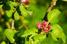 Red Apple Buds Stock Image